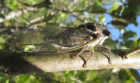 Lärm von Zikaden im Tessin - dBAkustik